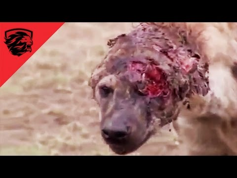 ► HARDCORE animal fights compilation - 2016