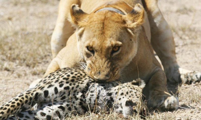 10 Most Amazing Wild Animal Attacks Compilation 2017 - Craziest Animal Fights Caught On Camera