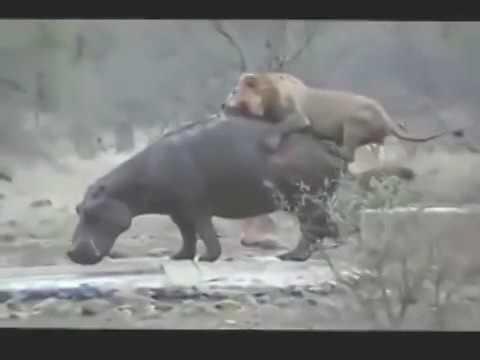 15 CRAZIEST Animal Fights Caught On Camera #3   Lion,Buffalo,crocodile,Elephant, 2016