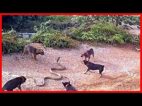 Wild animals fight to death | CRAZIEST Animal Fights Caught  | Dog vs Cobra Snake #2