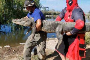 'Deadpool' Prevents Epic Battle Between Alligators   WILDEST ANIMAL RESCUES