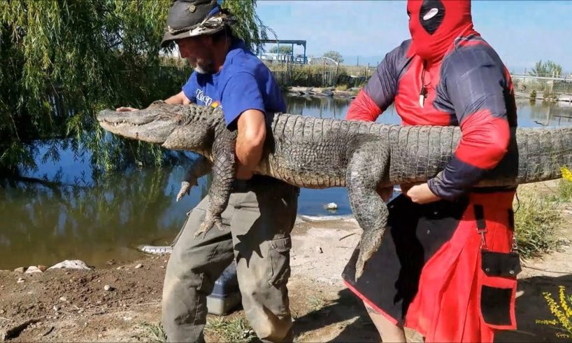 'Deadpool' Prevents Epic Battle Between Alligators | WILDEST ANIMAL RESCUES