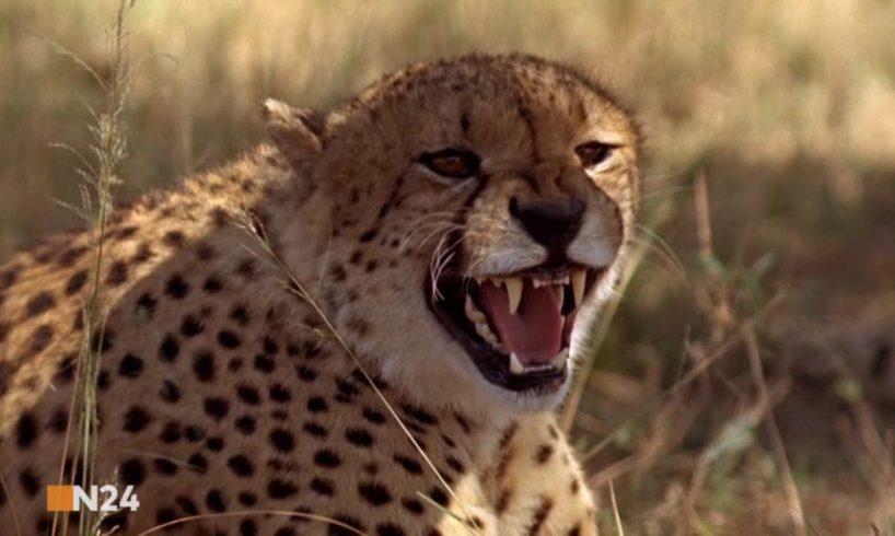 Animal Fight Club   Raubkatzen im Duell