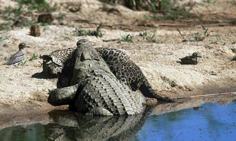 Animals/ Aggrresive behavior 10/BRUTAL FIGHT ANIMALS..Fights and attacks crocodiles.ЖЕСТЬ.