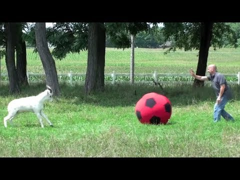 Animals Play with Balls