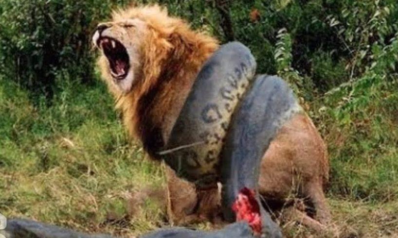 BIG ANIMALS CAUGHT IN FIGHT - Amazing Rare Animal Documentary - Nat Geo Wild