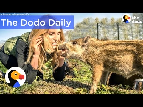 Baby Boar Rescued With Pudding: Best Animal Video Compilation | The Dodo Daily Ep.16