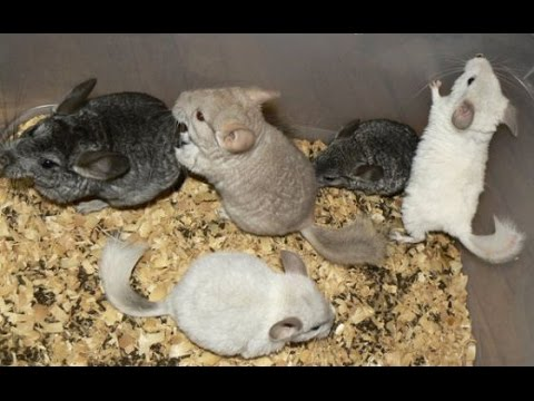 Baby chinchillas funny playing. Cute little animals compilation. Baby chinchilla care.