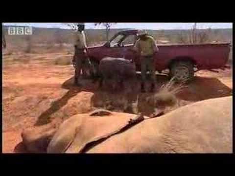 Baby elephant animal rescue - BBC wildlife