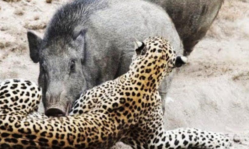 Best of Animals Fight Back Compilation including Leopard vs Porcupine, Puma vs Bear