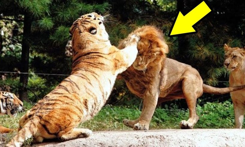 Big Cat vs Big Cat Real Animal Fights! Lion,Tiger,Leopard,Cheetah 사자 vs 호랑이 vs 표범 vs 치타 엄청난전투