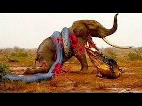 Biggest wild animal fights   CRAZIEST Animals Attack Caught   Crazy animal attack, animal fight #1