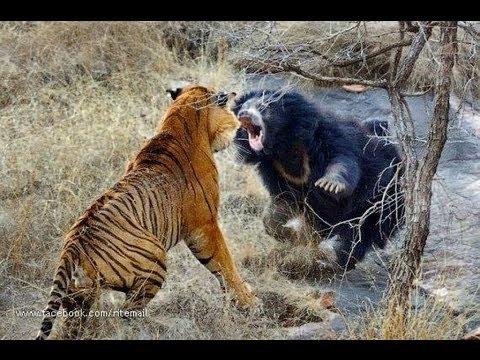 Biggest wild animal fights !!