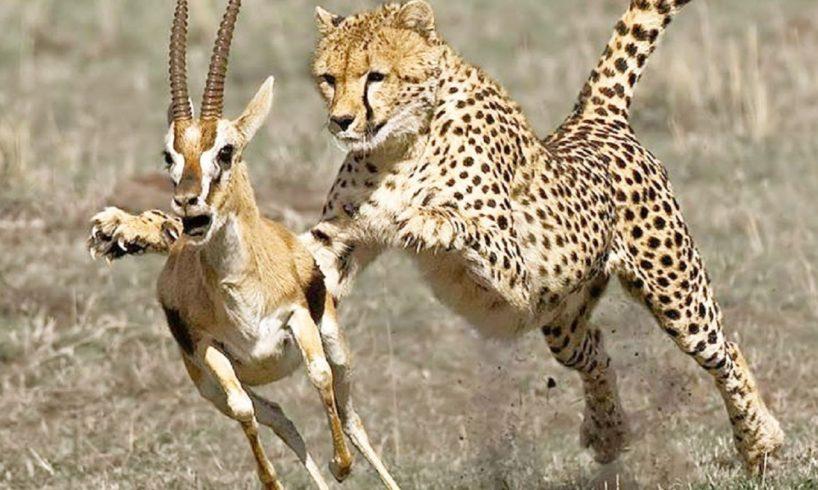 Cheetah Attacks and Kills Deer, Crocodile, Ostrich Too Fast