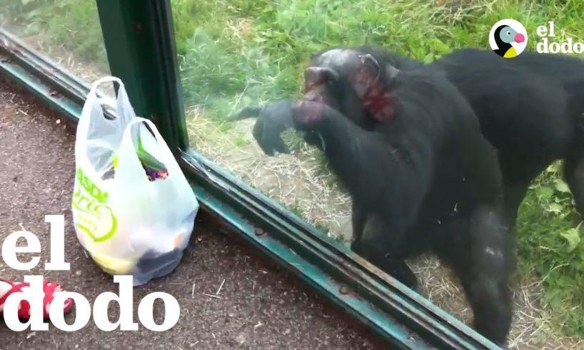 Chimpancé pide un trago en el zoológico