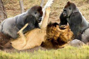 Classic fight Lion , gorilla attack | Amazing Animals Attacks - Wild Animal Fights Caught On Camera