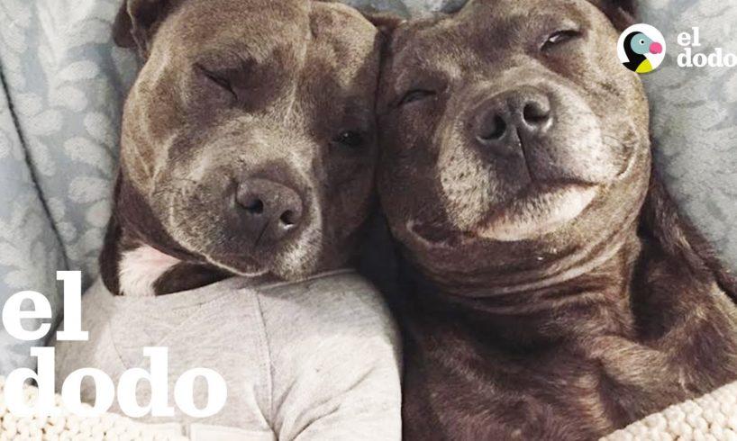 Conozcan a los Dos Pit Bulls Más Mimados del Mundo