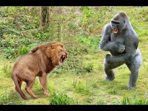 Craziest Animals Fights | Classic fight Lion , gorilla attack - Lion Video National Geographic