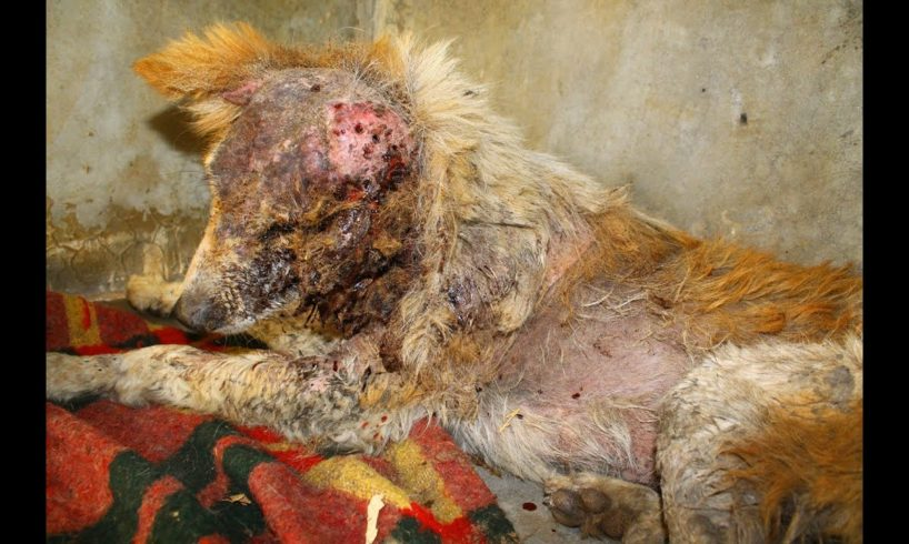Dog rescued from street gutter. His recovery will amaze you.