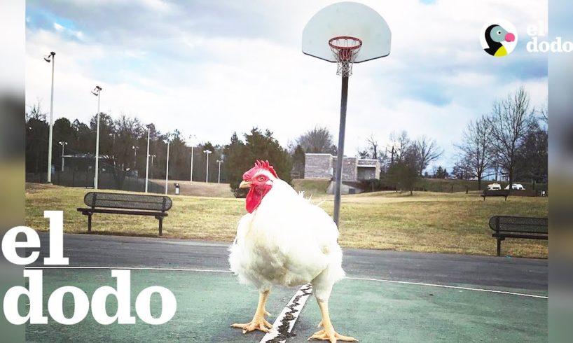 Este gallo es el rey de la casa