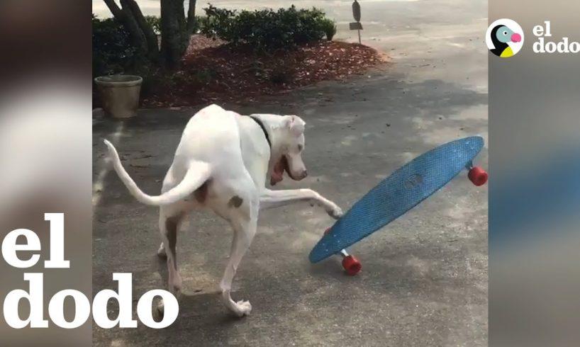 Este gran danés ama hacer skateboarding