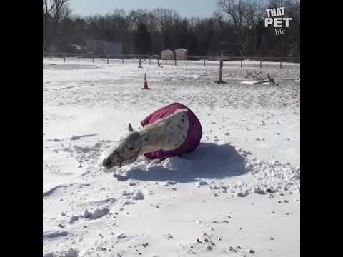 Farm Animals Playing in The Snow