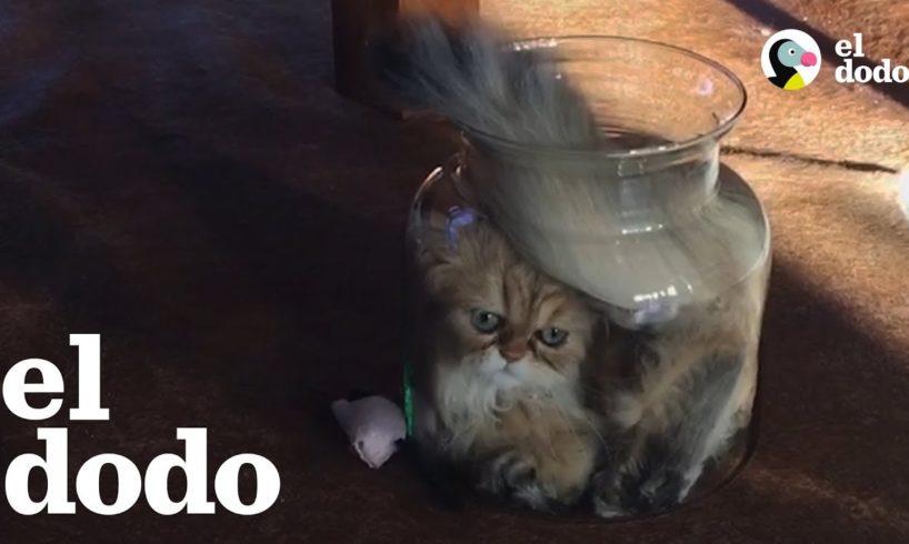 Gato está MUY determinado para entrar en un jarra de cristal