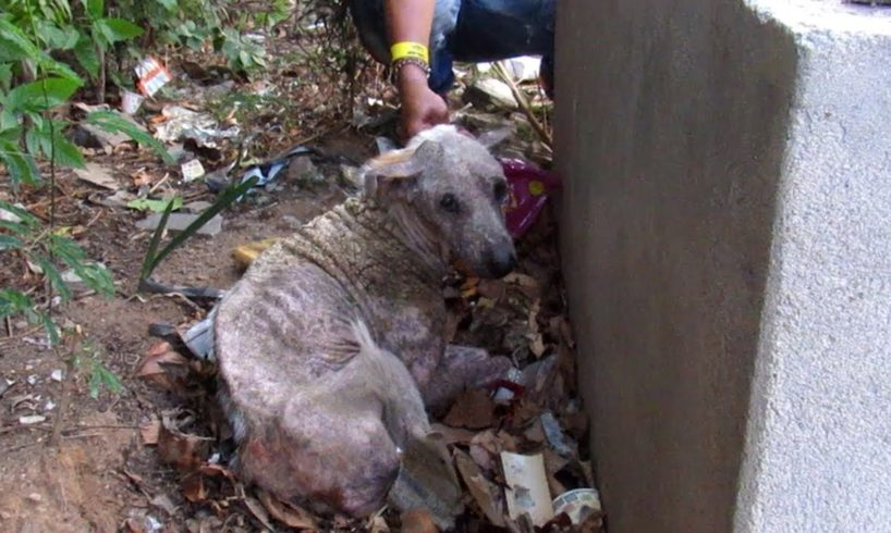 Hiding to die, rescue of sad and suffering old dog