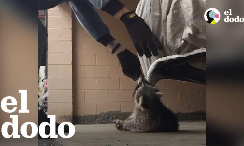 Hombre rescata a un mapache que se estaba ahorcando