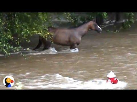 Incredible Hurricane Harvey Horse Rescue   The Dodo