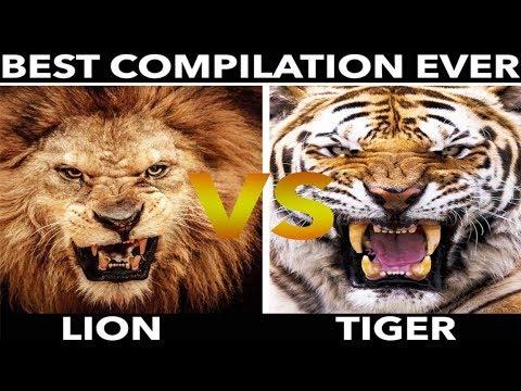LION vs TIGER (Best Compilation 2019 #1)