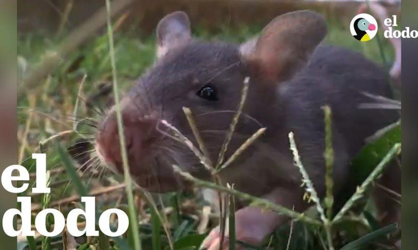 Las ratas salvan a las personas de las minas terrestres