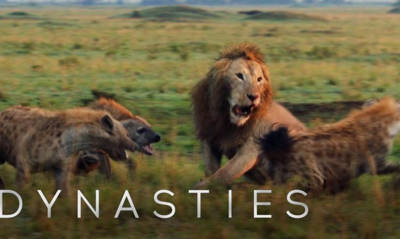 Lion Attacked by Pack of Hyenas - FULL CLIP (with ending)   Dynasties   BBC Earth