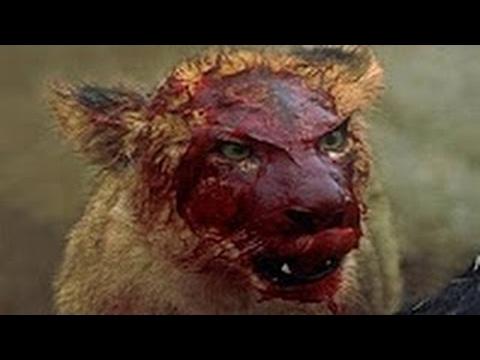Lion Vs Hyenas Real Fight Till Death - Amazing Predators Fight - Big Battle Animals #21