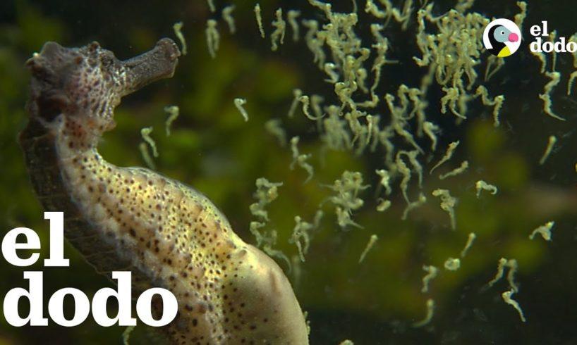 Los caballitos de mar machos dan a luz a miles de bebés