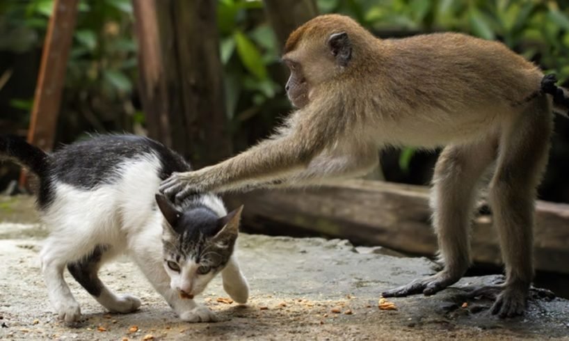 MONKEYS Playing With CATS | Funny Videos of Animal Compilation