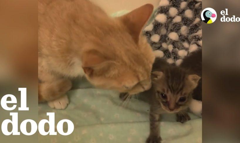 Mamá gata alimenta a gatitos huérfanos