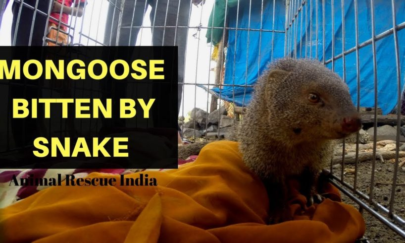 Mongoose bitten by Snake | Rescued | Animal Rescue India | GoPro