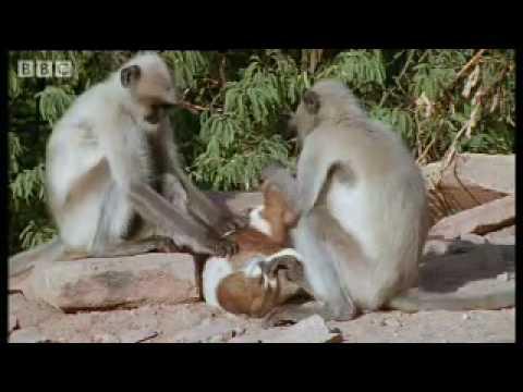 Monkeys play with cute puppy - Monkey Warriors - BBC animals
