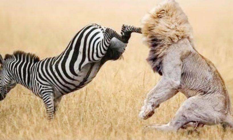 Most Amazing Wild Animals Attacks -  Wild Animal Fights Caught On Camera