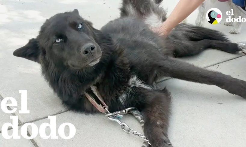Mujer toma un chance por un perro lobo abandonado