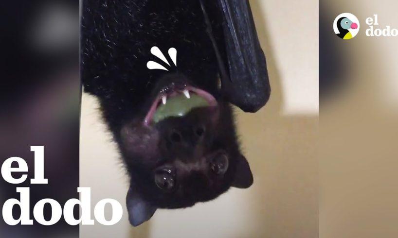 Murciélago rescatado come uvas