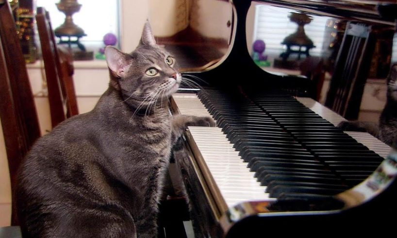 Nora The Piano Playing Cat | Extraordinary Animals | BBC Earth