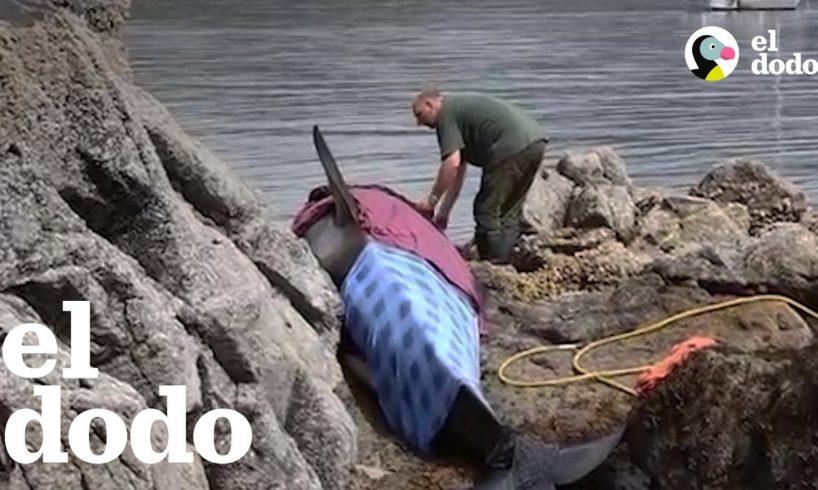 Orca varada en las rocas está agradecido de por fin ser libre