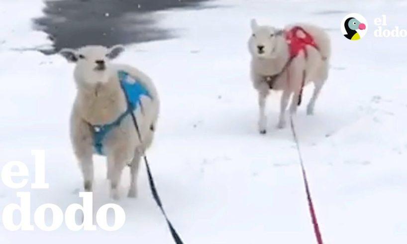Ovejas hermanas actúan como perros