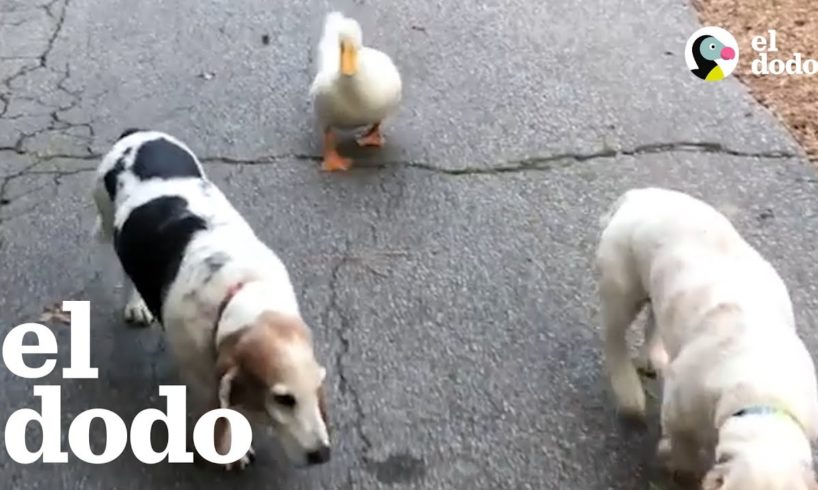 Pato rescatado haría lo que sea por ser perro | El Dodo