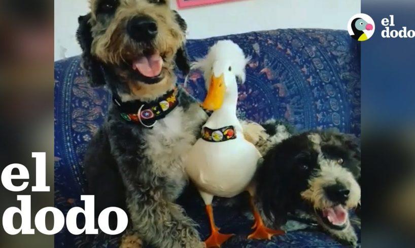 Pato salvado de una granja industrial ama a su nueva familia