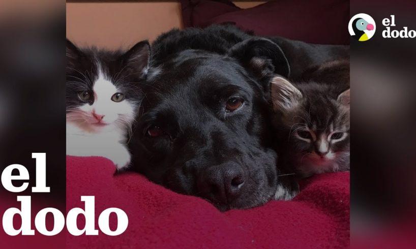 Perrita pit bull que extraña a su gato se enamoró de un montón de gatitos en adopción