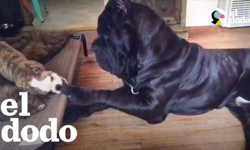 Perro enorme es cariñoso con sus hermanos