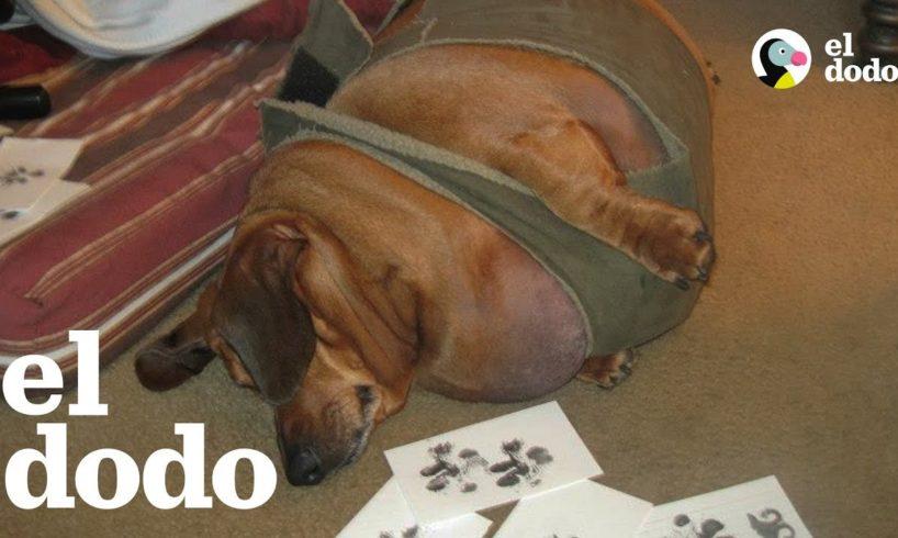 Perro salchicha obeso pierde 23 kilos
